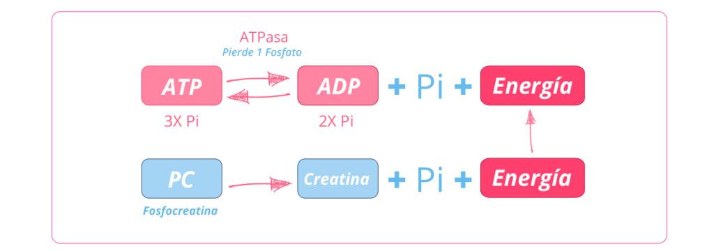 Mejora tu rendimiento en CrossFit con creatina