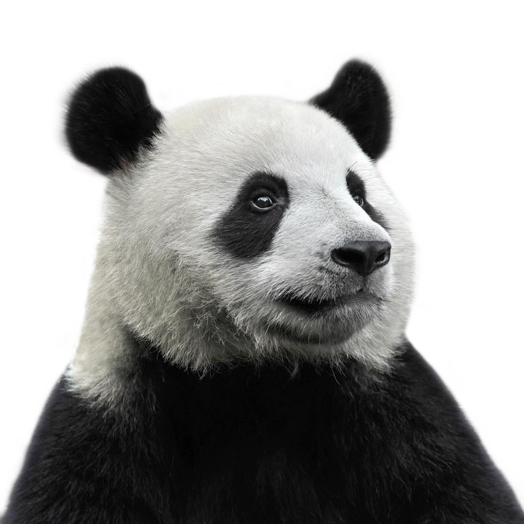 Panda ojeras