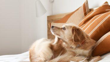 Cómo detectar la presencia de pulgas en nuestra mascota